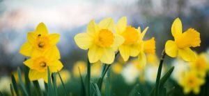 Daffodils-field